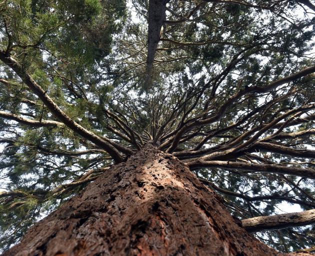 Sequoiadendron giganteum in Dunedin Botanic Garden. PHOTO: PETER MCINTOSH