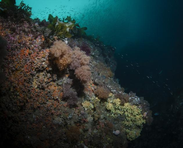 Undaria threatens to smother the diverse Fiordland marine environment, as pictured here. PHOTO:...