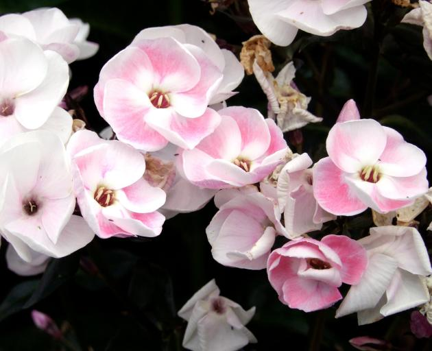 Mother of Pearl is a Phlox paniculata cultivar.