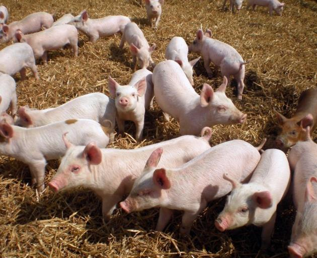 New Zealand is home to about 93 commercial pig farms. PHOTO: SUPPLIED