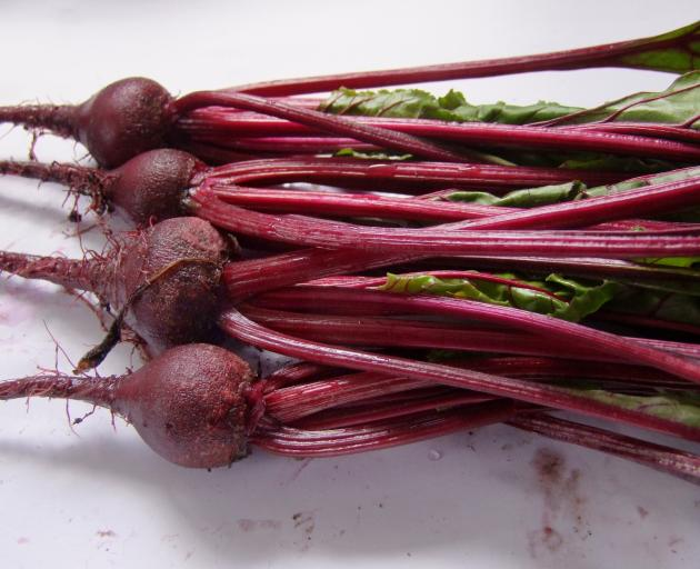 Beetroot can cope with fairly fresh manure,  but parsnips (below) will fork on contact with...