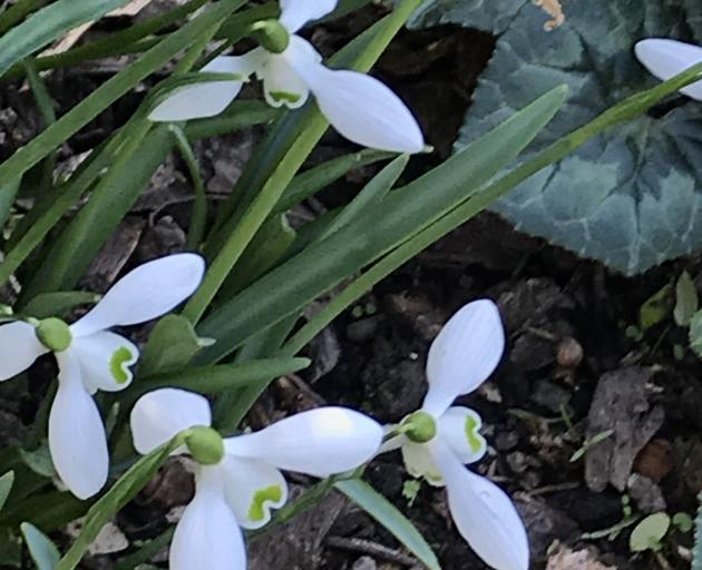 S. Arnott is a good variety for new snowdrop growers.