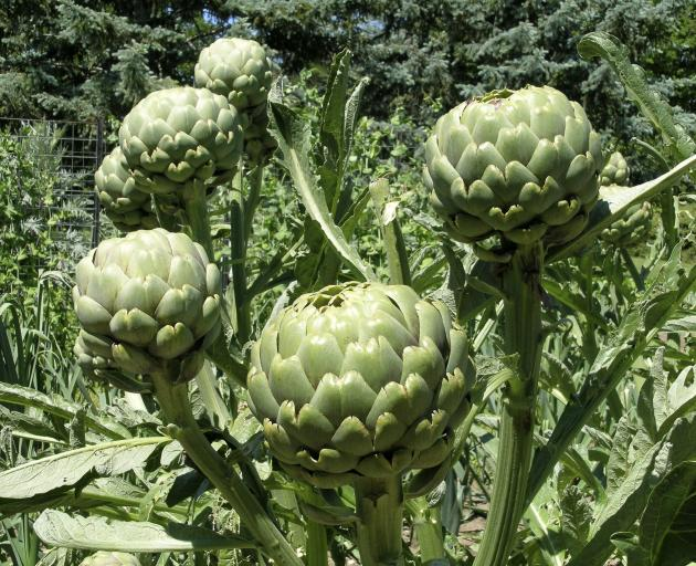 Globe artichokes can be used as tall decorative plants in the flower garden. PHOTO: GILLIAN VINE