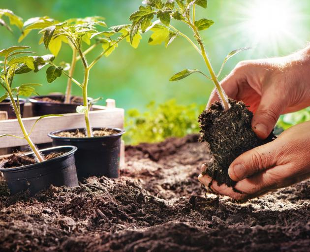 Deciding whether to use seeds or seedlings can have an impact in the garden. PHOTO: GETTY IMAGES