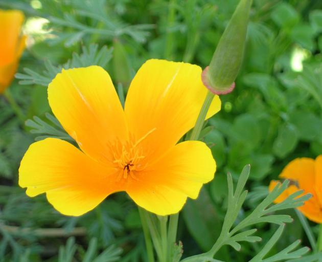 Californian poppy (Eschscholtzia) is a hardy, prolific and reliable flower.PHOTO: GILLIAN VINE