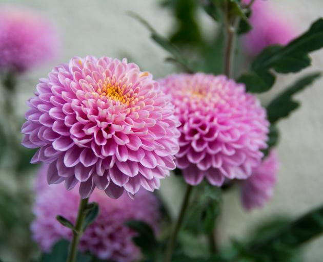 Chrysanthemums can now be grown from cuttings. PHOTO: GETTY IMAGES