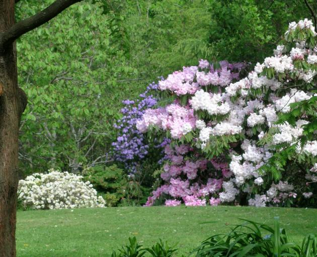 Dunedin's Tannock Glen has a fine collection of rhododendrons. PHOTOS: GILLIAN VINE