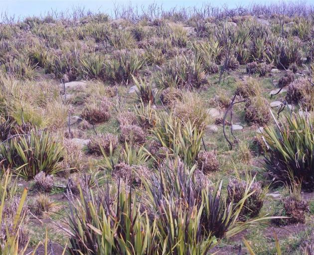 The vegetation at Flagstaff has become a patchwork of recovering flax interspersed with grassy...