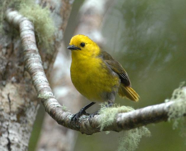 The mohua, or yellowhead. PHOTOS: RICHARD DAVISON & STEPHEN JAQUIERY
