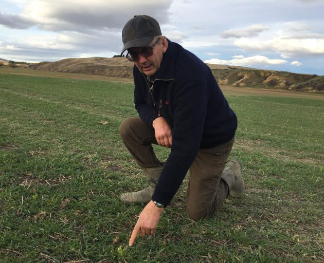 Tony Glassford of Omakau inspecting the first pasture sown at Drybread in his move to...