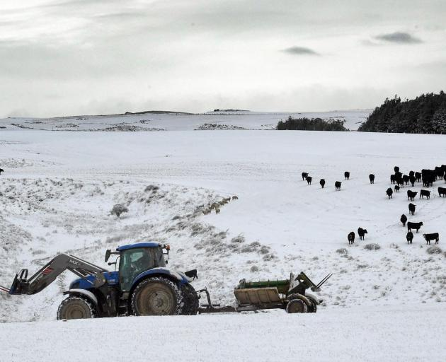 Cattle head to Logan Hall's tractor as he feeds out at Black Rock. PHOTO: STEPHEN JAQUIERY