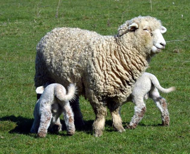 The earlier high lambing survival rates assisted a strong run of economic growth in Otago. Photo...