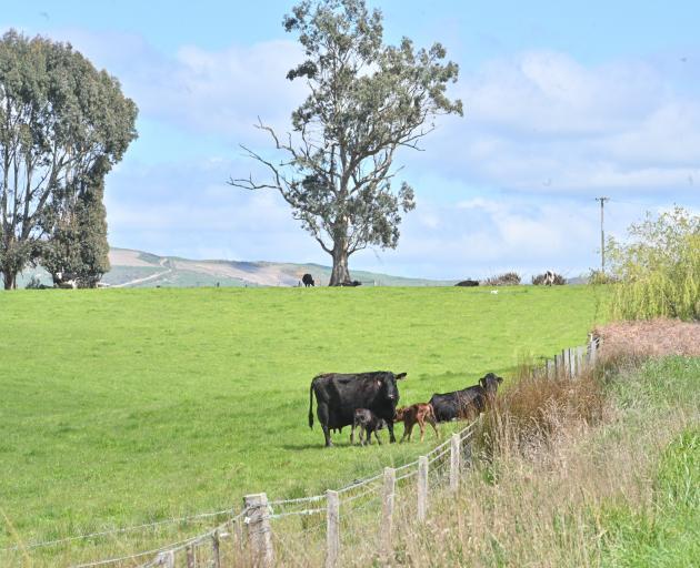 Beef cows and calves graze on a farm near Clinton. PHOTO: LINDA ROBERTSON
