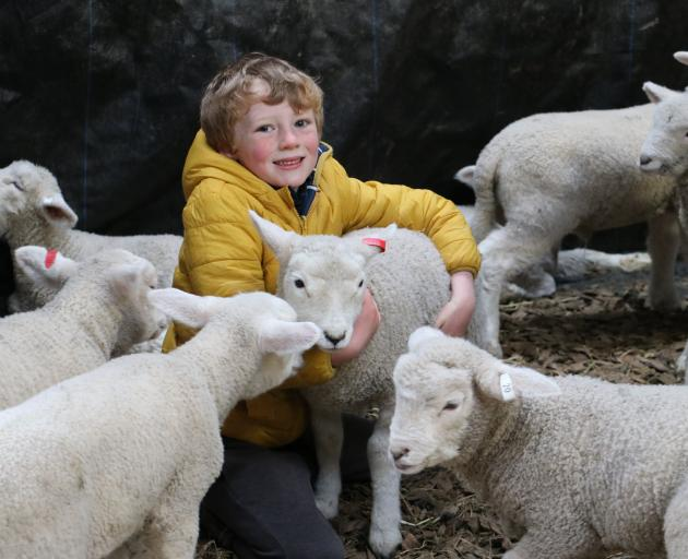 Jimmy Paterson, of Waikaka Station, is surrounded by some of the 200 lambs he is helping to rear....