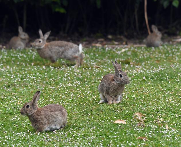 There has been a particularly strong rabbit infestation around Moeraki since 2017.