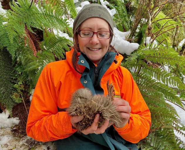 A Department of Conservation ranger holds the first kiwi chick of the season from monitored nests...