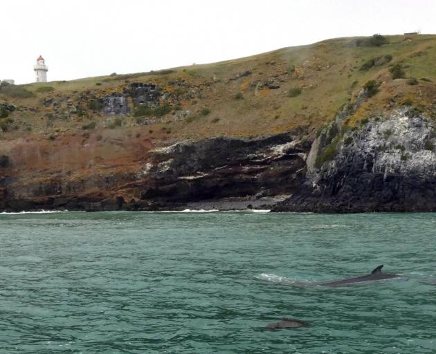 A dwarf minke whale seen by passengers on board Port to Port Cruises and Wildlife Tours'...