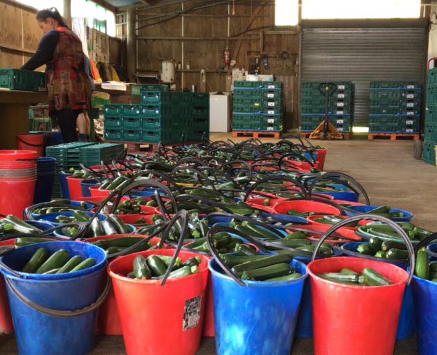 Courgettes being sorted for distribution to supermarkets across the country. Photo: David Fisher