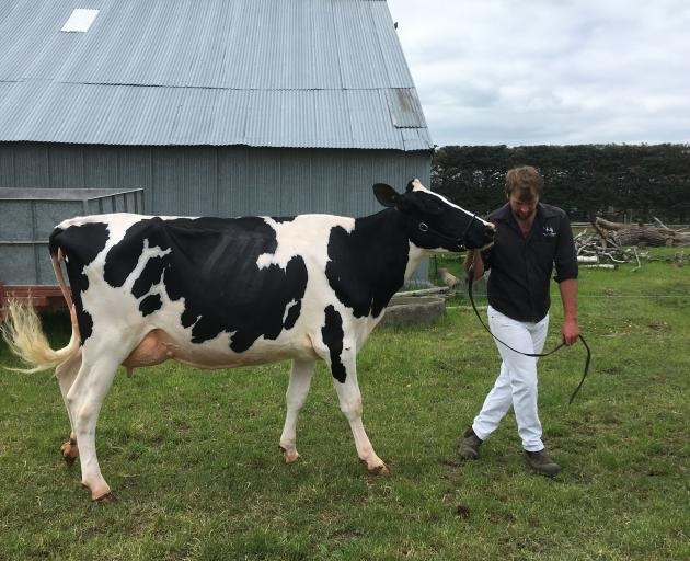 Rangiora farmer Robbie Wakelin leads 2-year-old Holstein Friesian cow Belbrook Bardo Plum during...