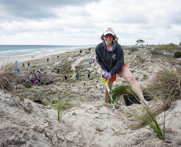 A community working day planting natives in sand dunes in the Bay of Plenty. PHOTO: SUPPLIED