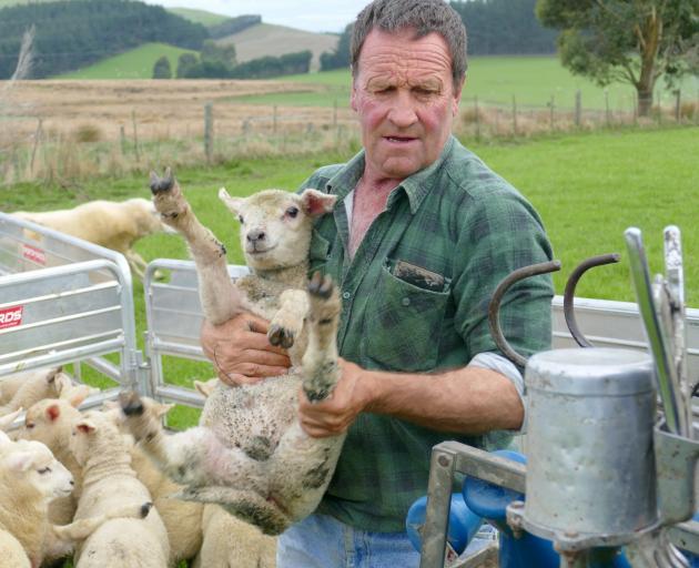 Clinton Lions member Michael Morris, of Kuriwao, hoists a lamb into the tailing chute. PHOTO: RICHARD DAVISON
