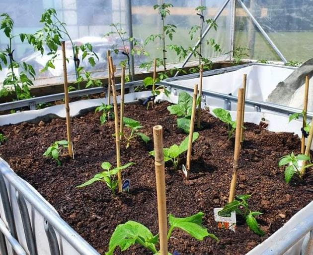 Chillies, tomatoes, capsicums and lettuce have already been planted in the community garden....