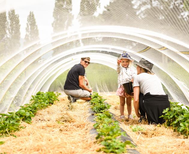 Lavender Farm co-owners Tim and Jessica Zeestraten and their daughter Maple (now 4), harvest...