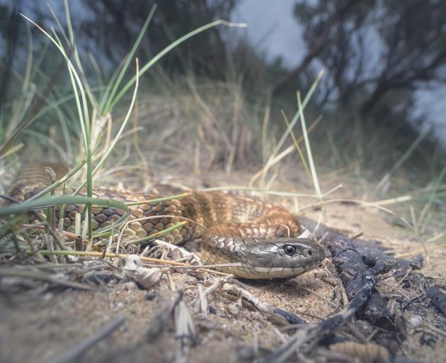 Close-up of a Wild tiger snake (Notechis scutatus) on coastal sand dunes, Melbourne, Victoria, Australia - stock photo Getty