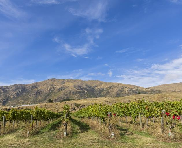 A vineyard landscape at Gibbston Valley. Photo: Getty Images