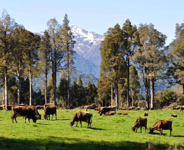 Jersey cows on pasture, West Coast, New Zealand. Photo: Getty Images