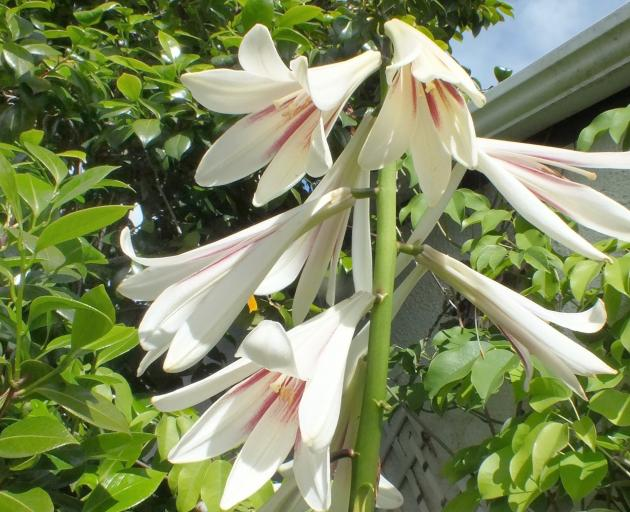 Helen Crothers' Cardiocrinum giganteum has flowered after a 15-year hiatus. PHOTO: GILLIAN VINE