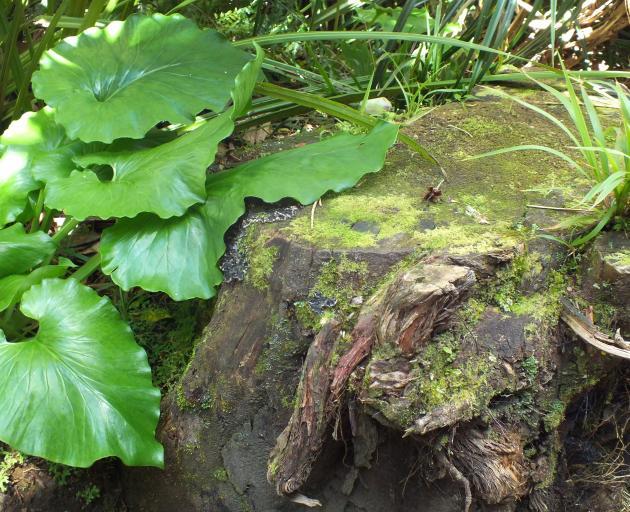 The heart-shaped leaves are a Cardiocrinum feature. PHOTO: GILLIAN VINE