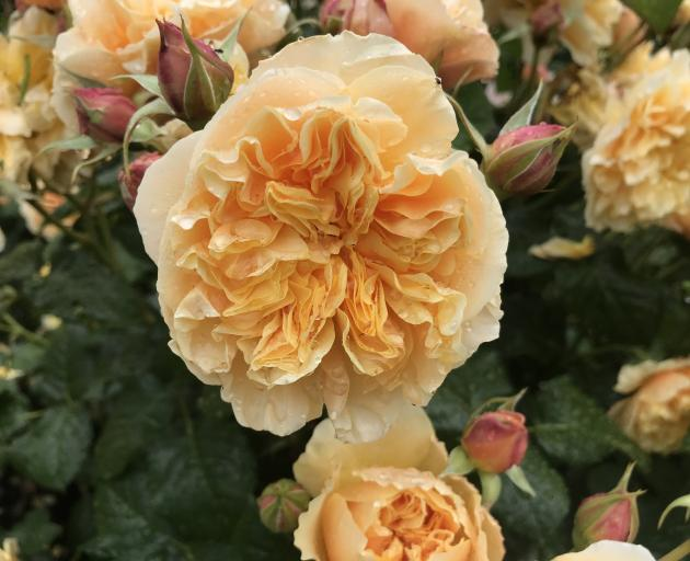 Bob Matthews' My Treasure did not win but for lovers of apricot, it's a rose to consider.