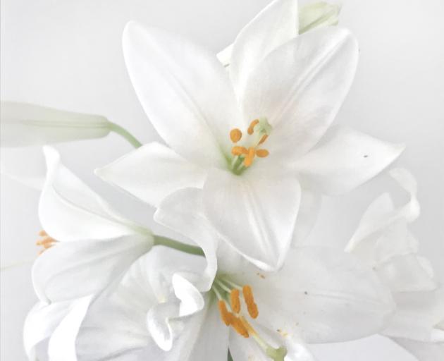 The Madonna lily symbolises Mary's purity. PHOTO: GILLIAN VINE