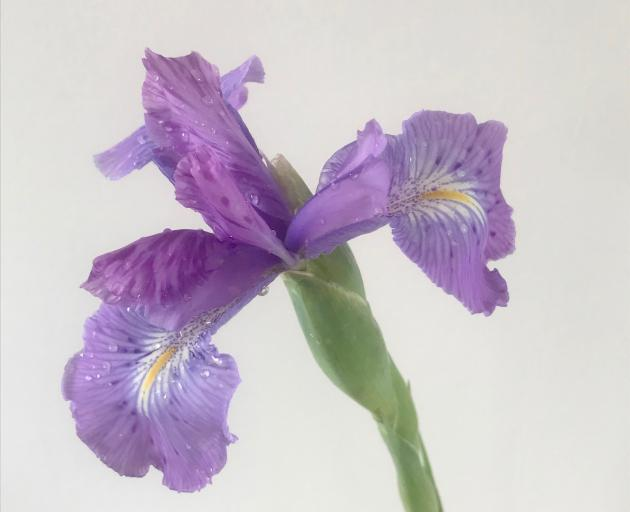 English irises complement Madonna lilies at Christmas. PHOTO: GILLIAN VINE