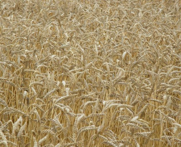 Cereal grain production (wheat, barley and oats) for the season totalled an estimated 881,800...