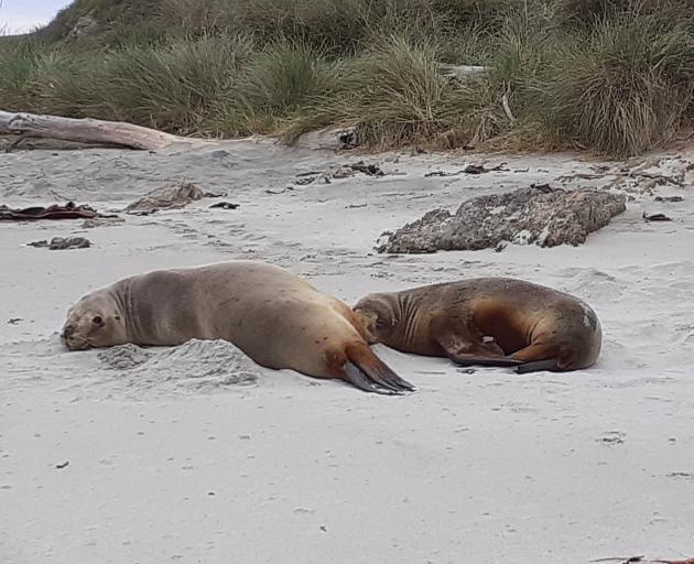 New Zealand sea lions on the beach neighbouring Mrs Oats' land at Taieri Beach.