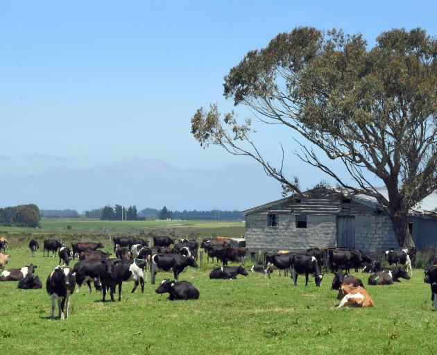 Cows graze near Dacre in Southland, a region which is home to 8.8% of the country's dairy herds....