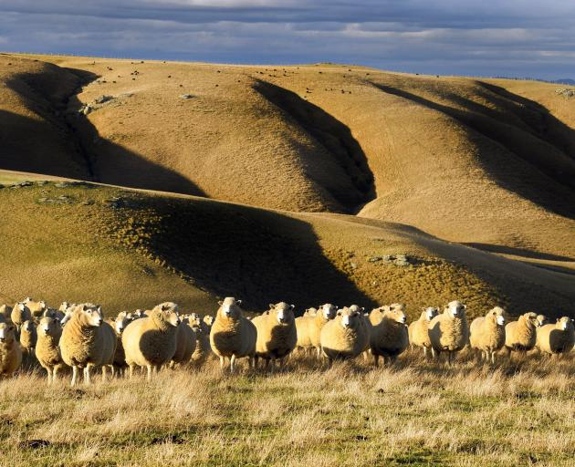 Farm-gate prices for New Zealand beef and sheepmeat are not expected to drop significantly below...