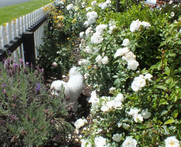 Removing a path and planting tightly has made the front strip easy to care for. PHOTOS: GILLIAN VINE