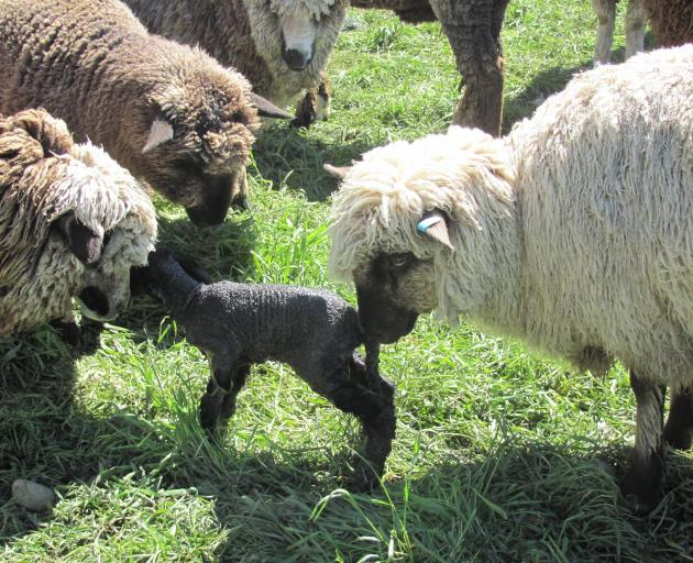 Hands-on demonstrations on the health and welfare of sheep will feature at the Black and Coloured...