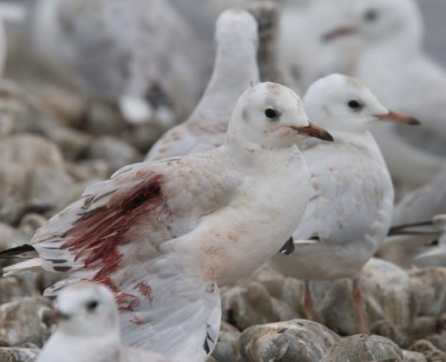 A gull injured by people driving 4WDs through their colony in North Canterbury. Photo: Supplied /...