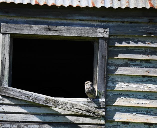 This little owl blends into the sun-lit, weathered boards of a derelict building near Tunnel...