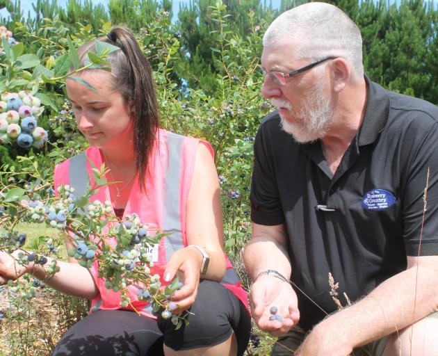 Blueberry Country picking supervisor Isabelle Hazlett and general manager Simon Bardon check the...
