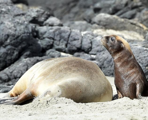 New Zealand sea lion, Huru, and her pup rest at Penguin Place, on Otago Peninsula, yesterday....