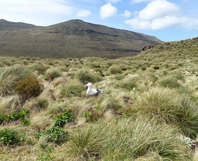 One of the many albatross that breed in the tussocks on the pest-free island reserve. PHOTO:KERRIE WATERWORTH