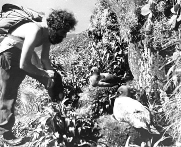 Robert Stanley gets up close to alight-mantled sooty albatross nestingon Campbell Island in the early 1950s.  PHOTO: SUPPLIED