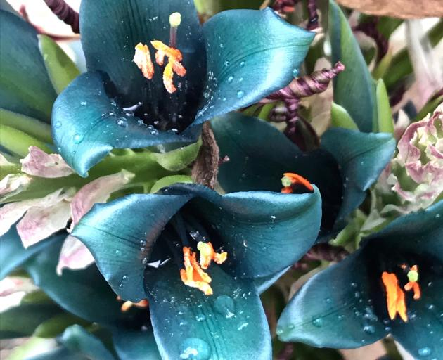 Puya x berteroniana in Deidre Coughlan's Millers Flat garden. PHOTOS: GILLIAN VINE