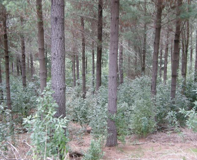 Pines can be the ideal nursery crop for native species, local farm foresters say. PHOTO: SUPPLIED...