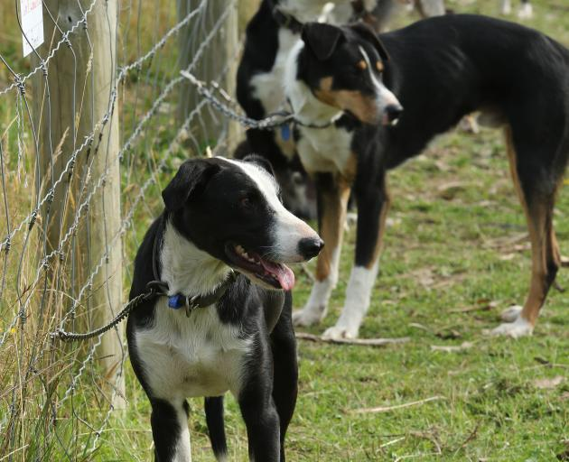 Heading dogs wait to be sold in South Otago on February 14. PHOTO: JOHN COSGROVE